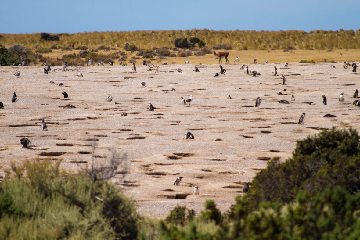 A field full of penguins and their burrows lie before a single beige guanaco in Punta Tombo Argentina