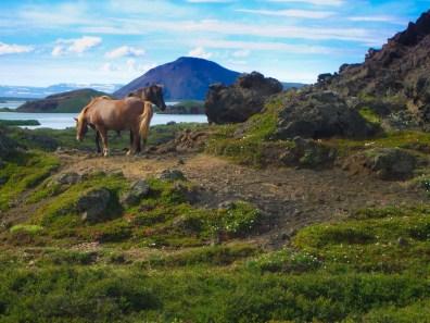 Icelandic horses graze along the edge of Lake Myvatn in Iceland