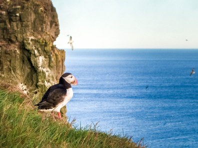 A puffin peers out from the edge of the Latrabjarg bird cliffs in Iceland's Westfjords