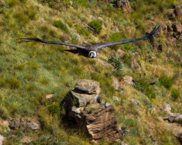 An Andean Condor flies over the grass in Colca Canyon Peru