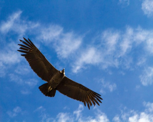 An Andean Condor in Colca Canyon Peru against a blue sky dotted with clouds in Colca Canyon with kids