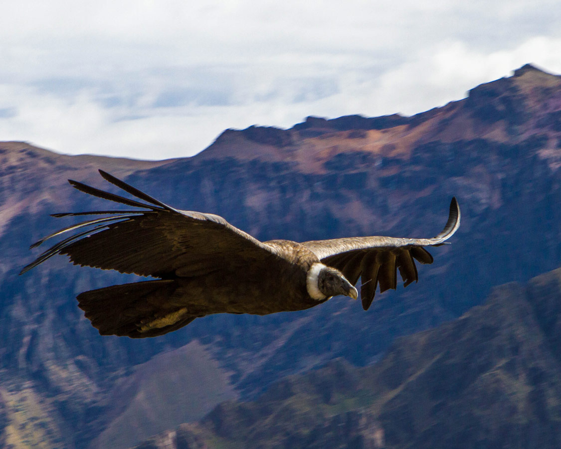 One of the largest birds in the world flies near the camera as we visit the Andean Condors in Colca Canyon with Kids