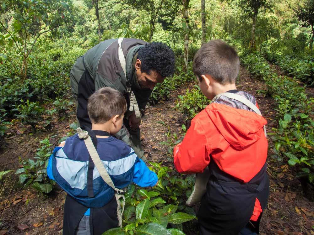 Children pick tea leaves at the tea making experience at the InkaTerra Machu Picchu Pueblo hotel Peru