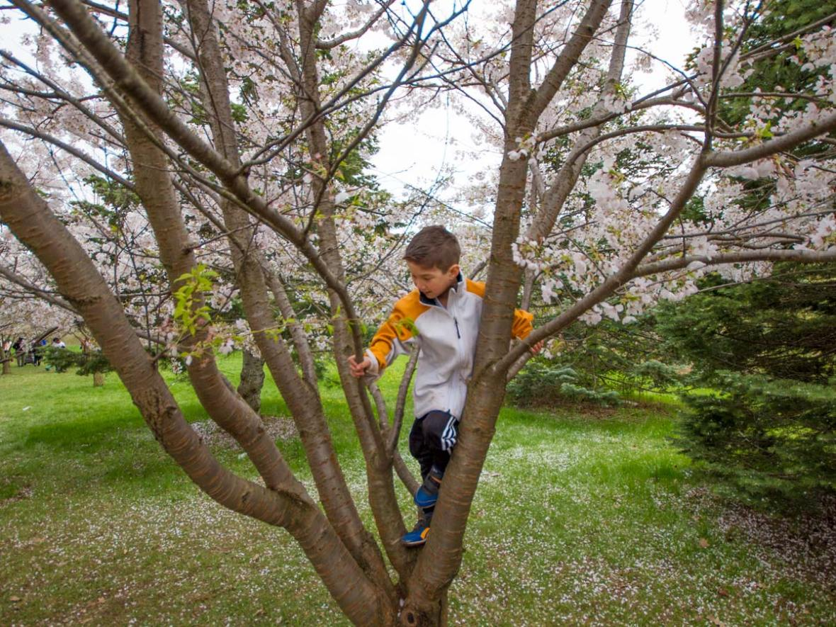 Cherry Blossoms in Brampton Ontario