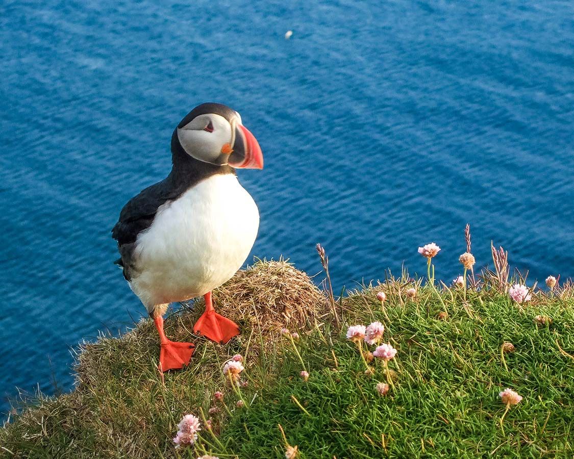 Iceland with Kids Puffins in Iceland