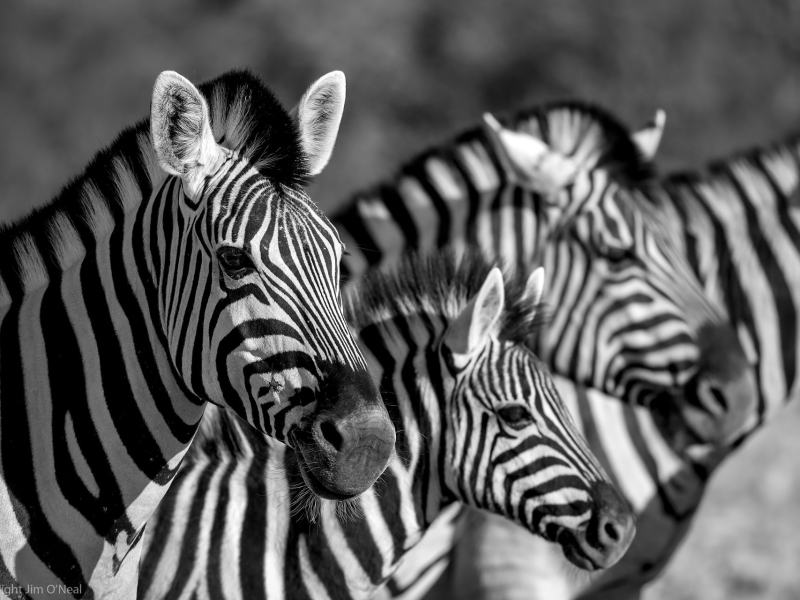 Timeless Africa: 12 Black and White Wildlife Images