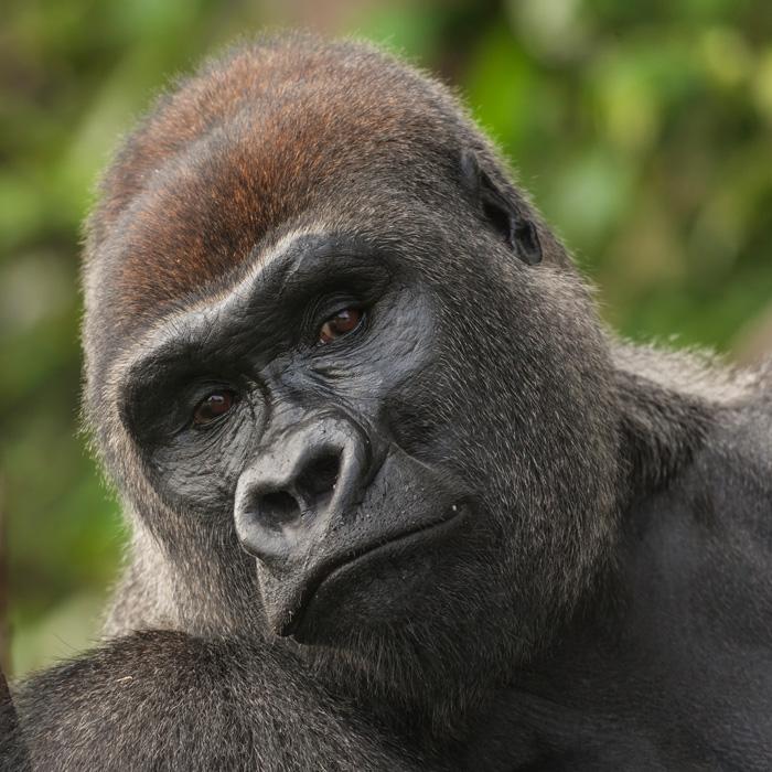 Lefini Reserve, Congo