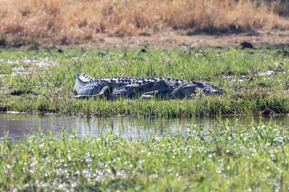 A Nile Crocodile sunning along the Khwai River in Moremi Game Reserve, Botswana.