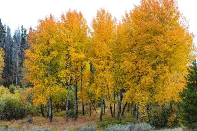 Colorado Aspen - RMNP