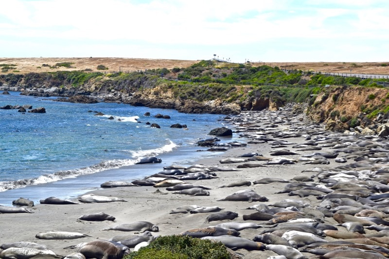 Elephant seals along the route of the Pacific Coast Highway