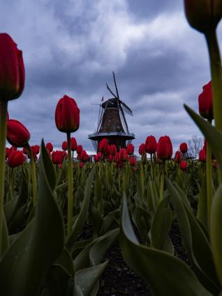 tulipani in olanda (1)