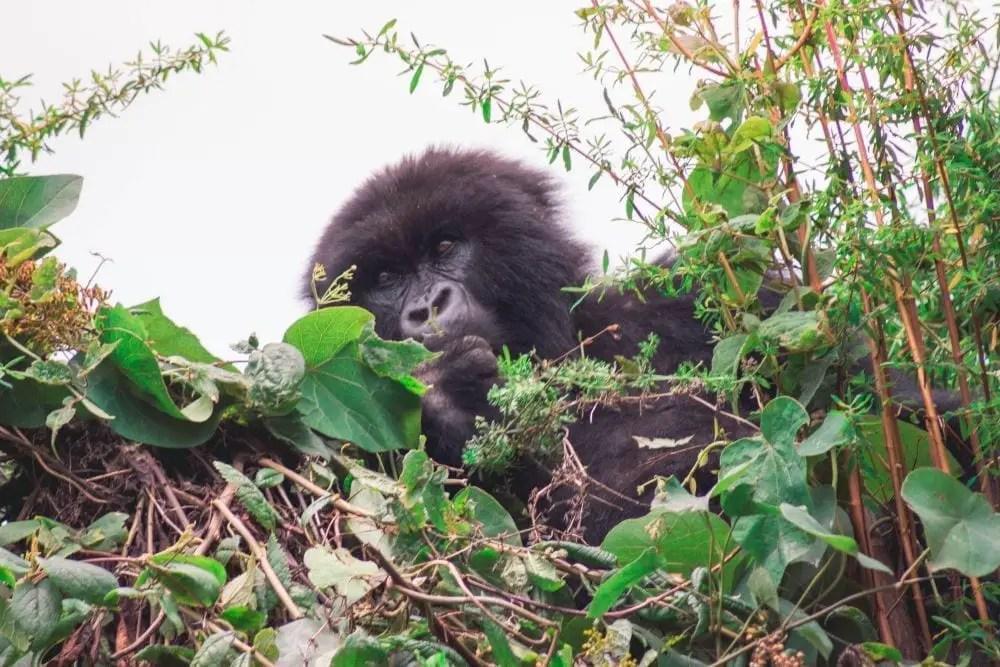 travel to rwanda gorilla
