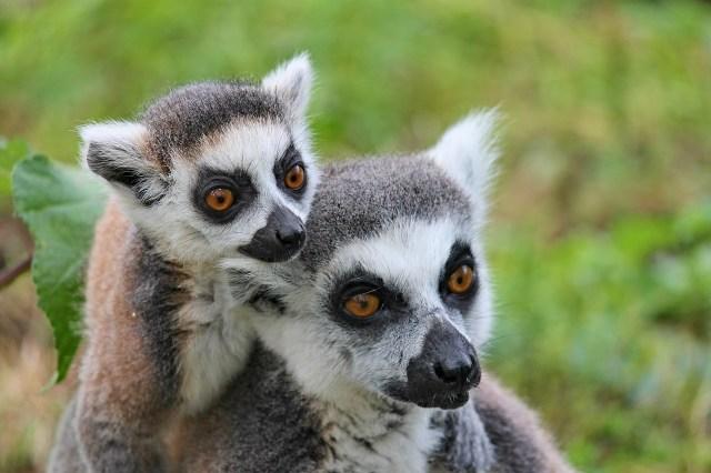 Lemurs, Madagascar: Pixabay