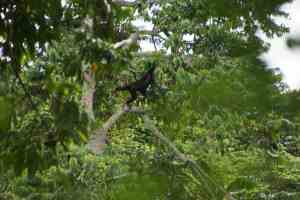 The Kyambura Gorge Chimps