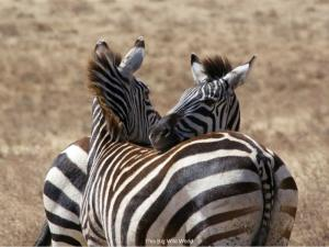 Zebras on safari in Tanzania by This Big Wild World