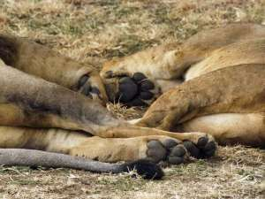 Lions feet on safari in Tanzania by This Big Wild World