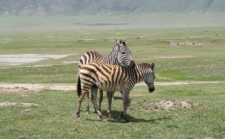 Zebras intertwined on safari at Ngorongoro Crater, Tanzania