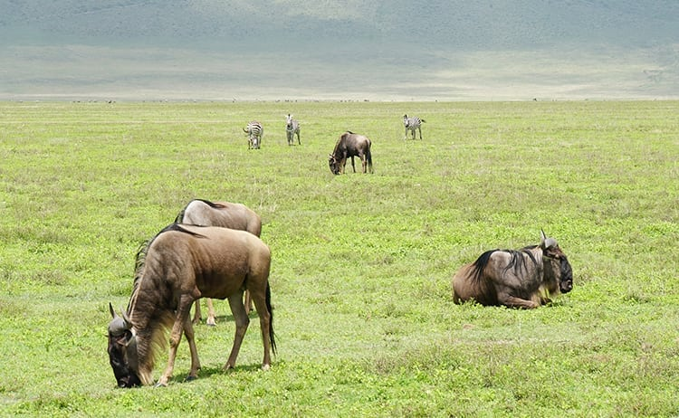 Wildebeest on safari at Ngorongoro Crater, Tanzania