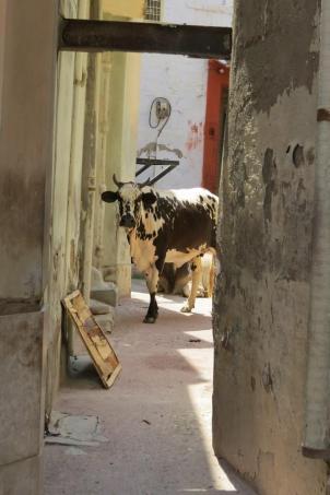cows in bikaner