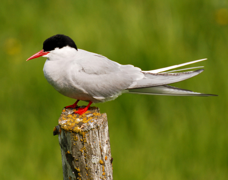 Image of an Arctic tern in Iceland
