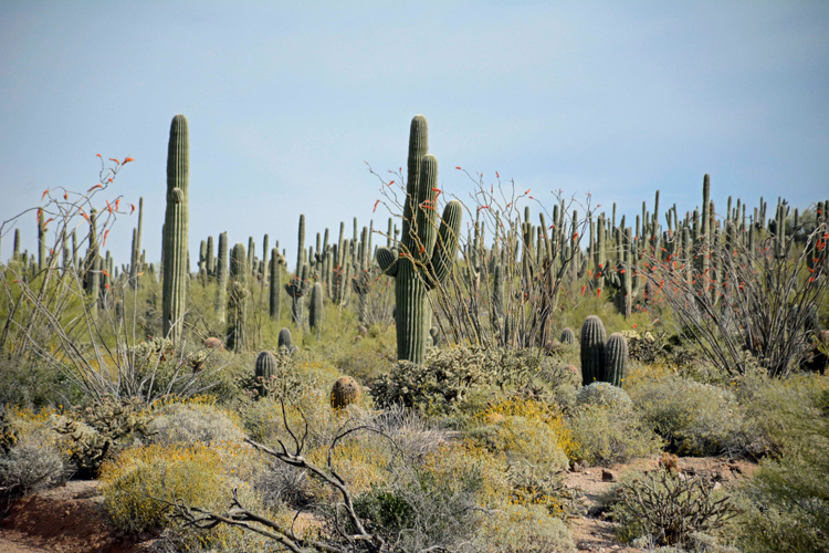 An image of Saguaro cacti in Usery Mountain Regional Park near Mesa, Arizona
