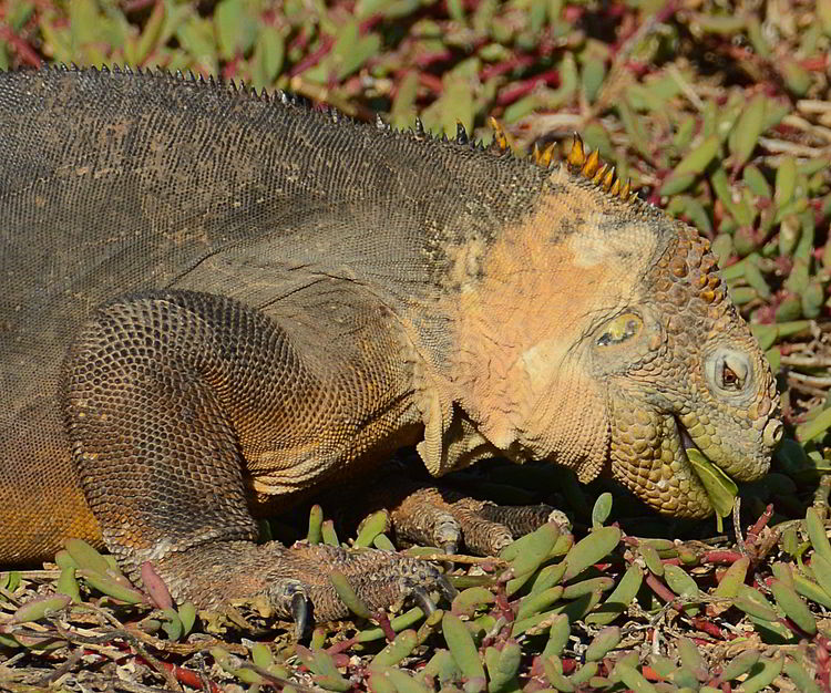 An image of a Galapagos Land Iguana eating a leaf in the Galapagos islands