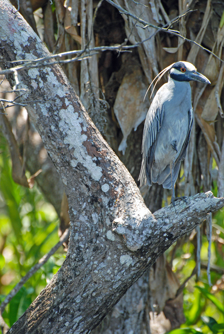 An image of a yellow-crowned night heron.