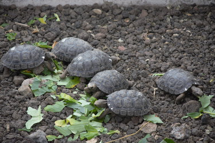 An image of baby tortoises in the Galapagos Islands