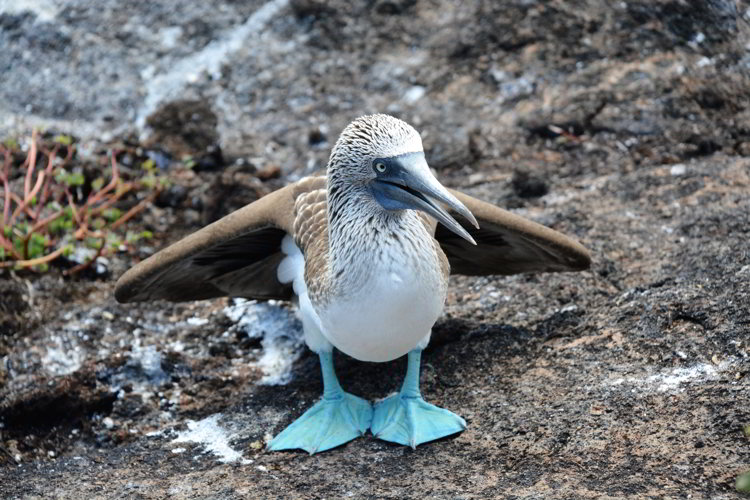 An image of a blue-footed booby sitting on a rock in the Galapagos Islands
