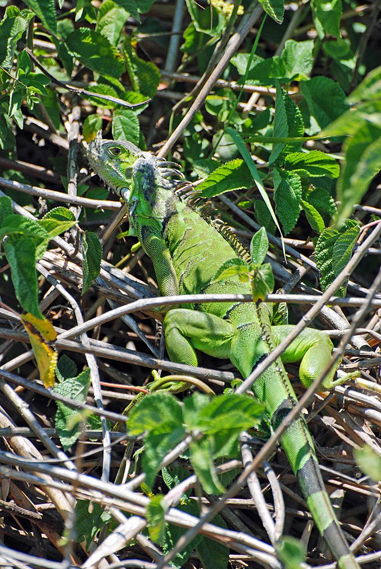 An image of a green iguana