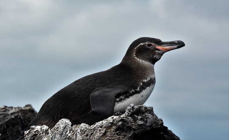 An image of a Galapagos Penguin sitting on a rock in the Galapagos Islands