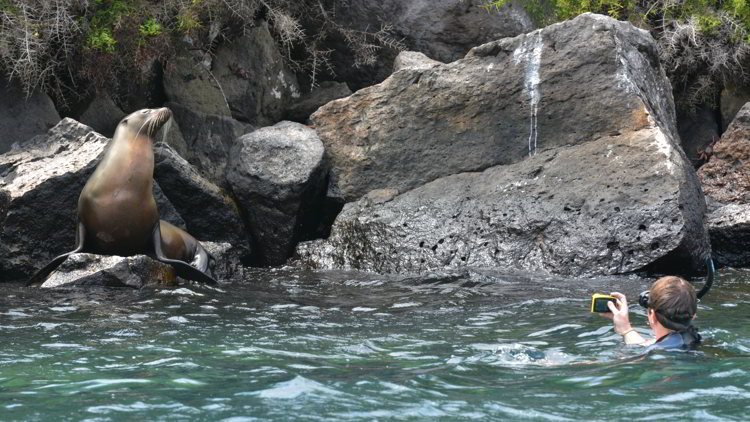 An image of a snorkeler taking a picture of a sea lion in the Galapagos Islands