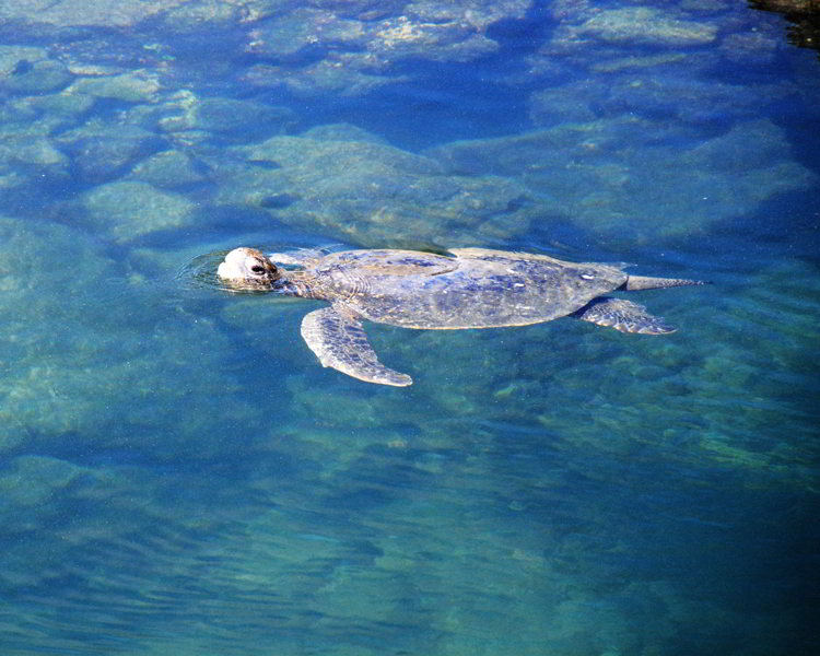 An image of a Galapagos green turtle in the Galapagos Islands