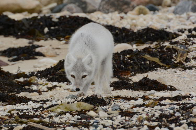 An image of an Arctic Fox near Churchill, Manitoba