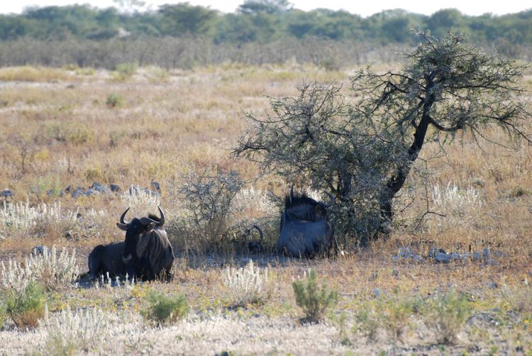 An image of a cape buffalo at rest in Etosha National Park in Namibia