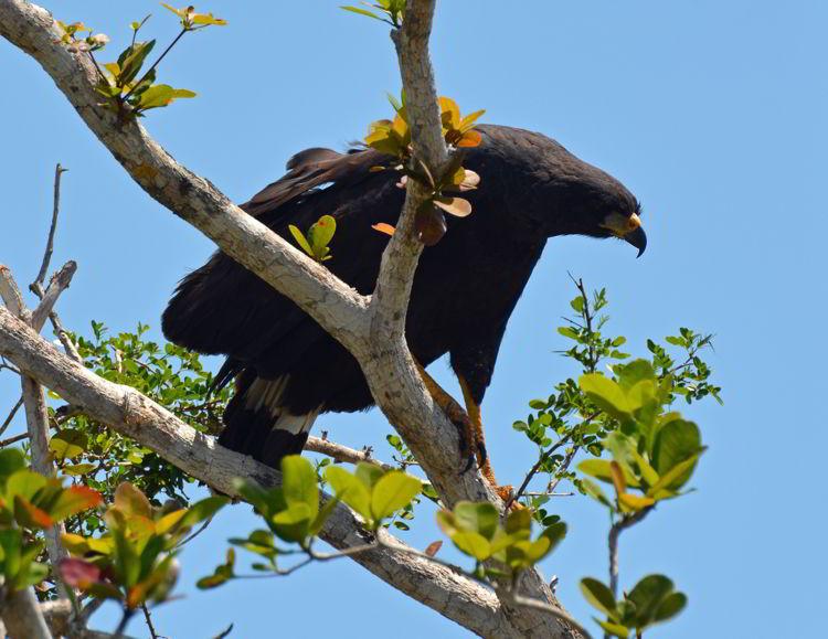 An image of a Great Black Hawk in Belize