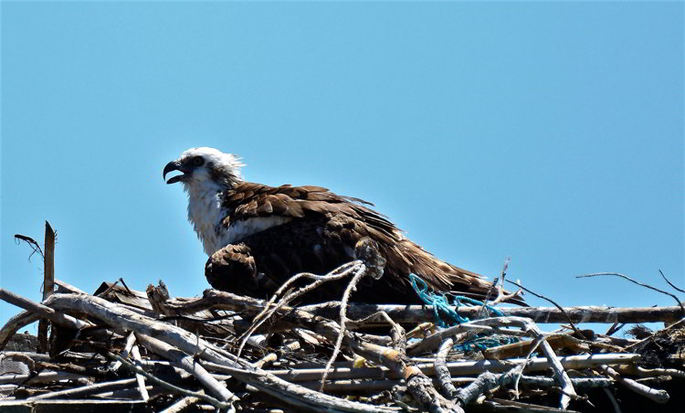 An osprey sitting on a nest on Tobacco Caye in Belize
