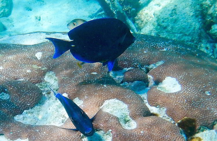 Image of blue parrot fish swimming over coral in South Water Caye Marine Reserve seen while snorkeling in Belize