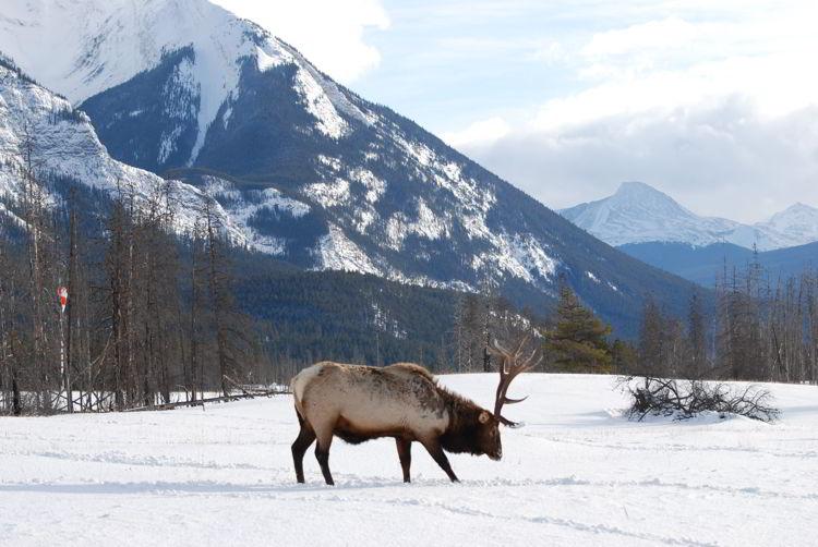 An image of a bull elk in Jasper National Park in winter - Jasper in Winter - Stunning Photographs