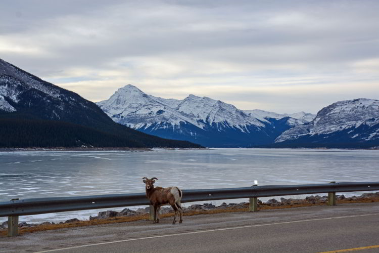 An image of a bighorn sheep at Abraham Lake, Alberta