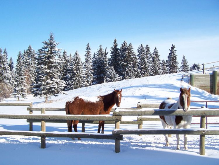 An image of two horses in winter at Heritage Ranch in Red Deer -- Things to do in Red Deer in winter