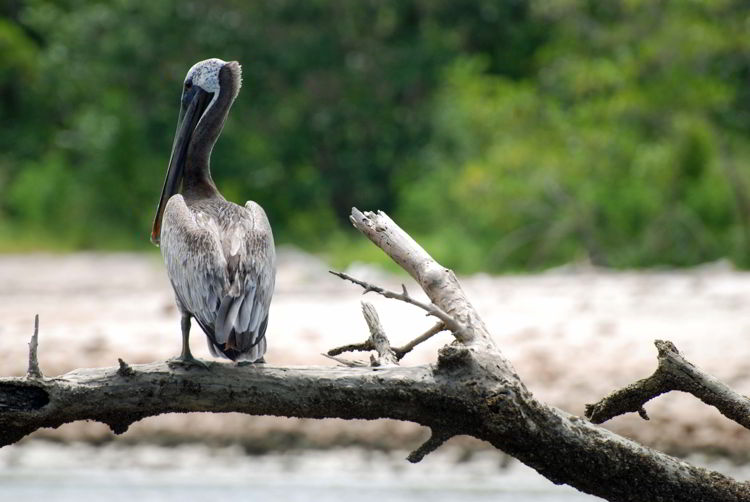 An image of a pelican in Everglades National Park.