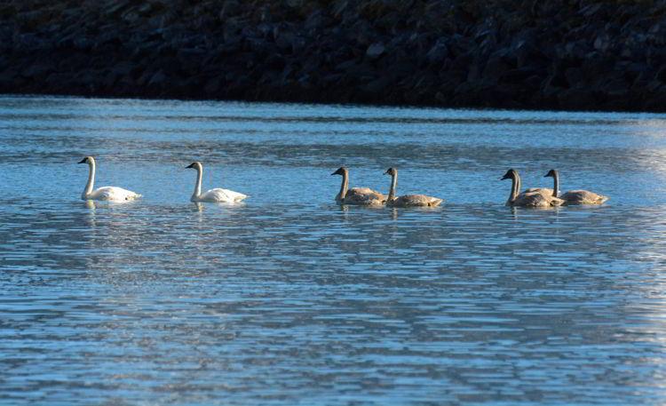An image of swans swimming in Resurrection Bay near Seward, Alaska