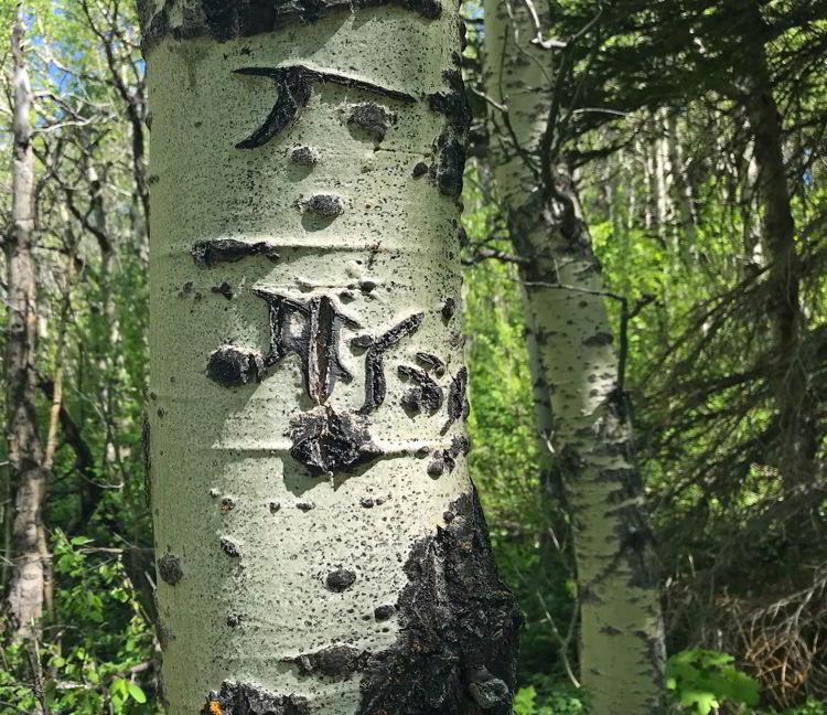 An image of grizzly bear markings on an aspen tree in Castle Provincial Park, Alberta.