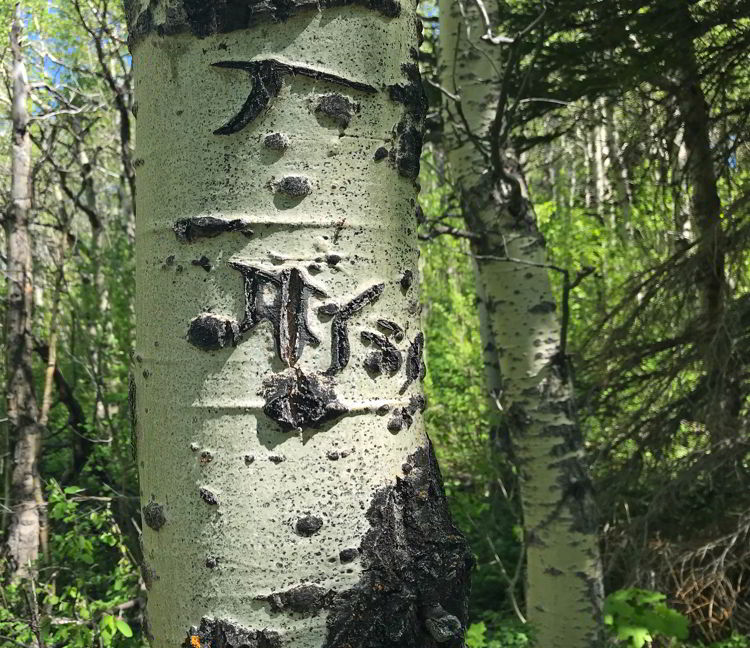 An image of grizzly bear markings on an aspen tree in Castle Provincial Park, Alberta.