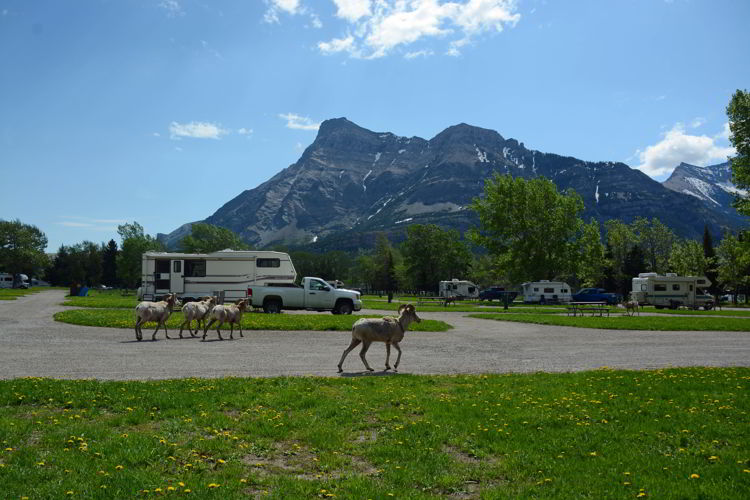 An image of bighorn sheep walking through the Townsite Campground in Waterton Lakes National Park in Alberta, Canada.