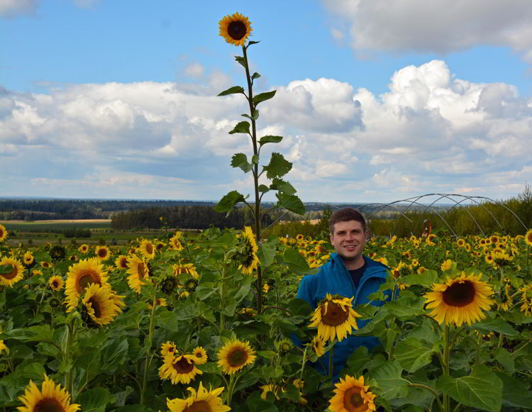 An image of a man standing near a tall sunflower in a sunflower field at the Bowden Sunmaze near Bowden, Alberta, Canada.