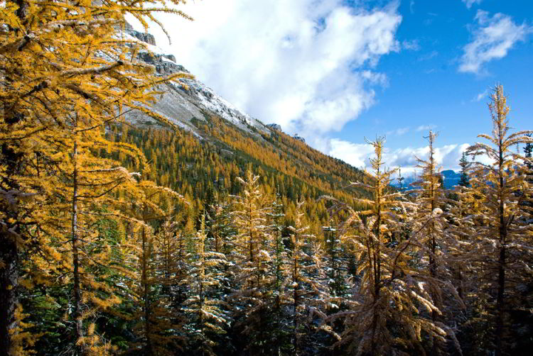An image of the beautiful golden larches in the conifer forest along the Larch Valley hike in Banff National Park, Alberta, Canada.