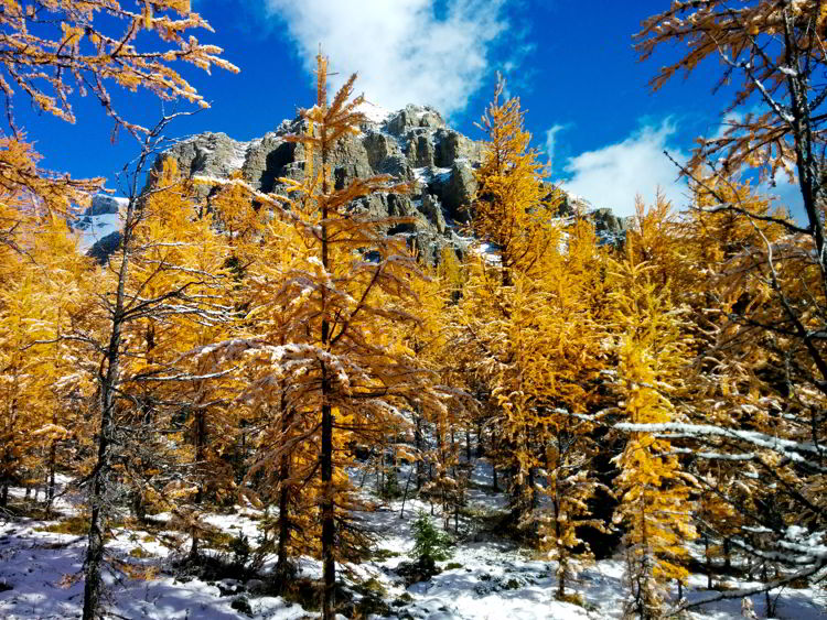 An image of snow dusted mountain peaks and golden larches on the Larch Valley Hike in Banff National Park, Alberta, Canada.