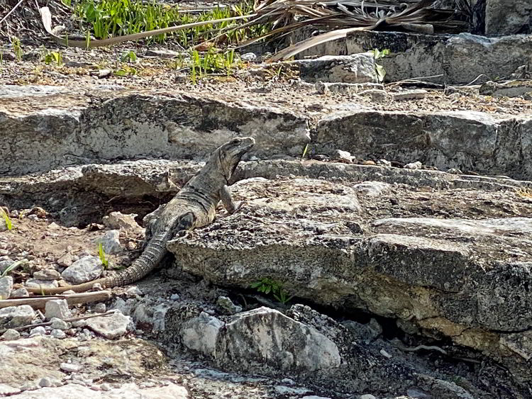An image of an iguana at the El Meco archaeological site in Cancun, Mexico.